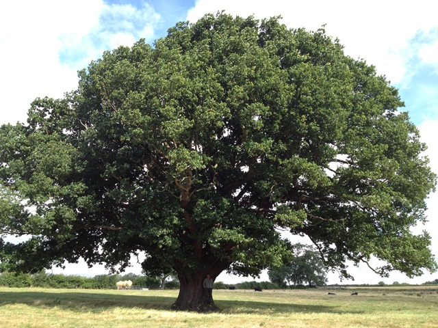 A very large Oak tree covered in green foliage in the middle of a meadow